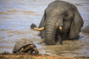 Leopard tortoise with elephant behind, South Africa by Ann & Steve Toon