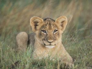 Lion Cub, Panthera Leo, Approximately Two to Three Months Old, Kruger National Park, South Africa by Ann & Steve Toon