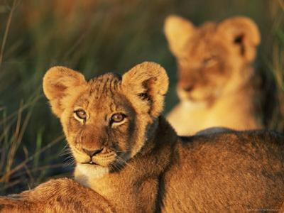 Lion Cubs Approximately 2-3 Months Old, Kruger National Park, South Africa, Africa by Ann & Steve Toon