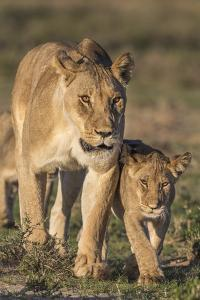 Lioness with Cub (Panthera Leo), Kgalagadi Transfrontier Park, Northern Cape, South Africa, Africa by Ann & Steve Toon