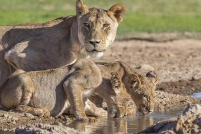 Lioness with Cubs (Panthera Leo) at Water, Kgalagadi Transfrontier Park, Northern Cape, Africa by Ann & Steve Toon