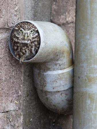 Little Owl (Athene Noctua) in Drainpipe, Captive, United Kingdom, Europe