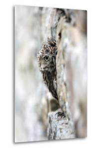 Little Owl (Athene Noctua) Perched in Stone Barn, Captive, United Kingdom, Europe by Ann & Steve Toon