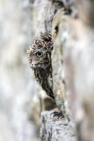 Little Owl (Athene Noctua) Perched in Stone Barn, Captive, United Kingdom, Europe