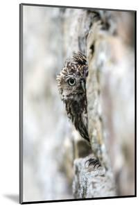 Little Owl (Athene Noctua) Perched in Stone Barn, Captive, United Kingdom, Europe by Ann & Steve Toon