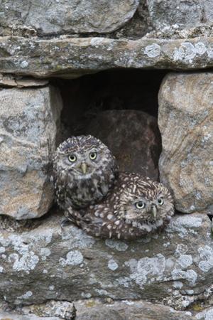 Little Owls (Athene Noctua) Perched in Stone Barn, Captive, United Kingdom, Europe by Ann & Steve Toon