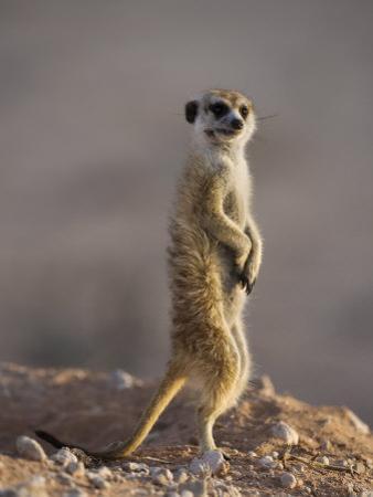 Meerkat Sentinel (Suricatta Suricata), Kgalagadi Transfrontier Park, Northern Cape, South Africa
