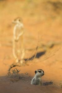 Meerkat (Suricata Suricatta) Emerging From Burrow, Kgalagadi Transfrontier Park, Northern Cape by Ann & Steve Toon