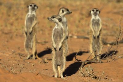 Meerkats (Suricata Suricatta) Standing Alert, Kgalagadi Transfrontier Park, Northern Cape by Ann & Steve Toon