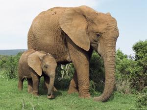 Mother and Calf, African Elephant (Loxodonta Africana) Addo National Park, South Africa, Africa by Ann & Steve Toon