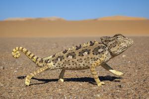 Namaqua Chameleon (Chamaeleo Namaquensis), Namib Desert, Namibia, April by Ann & Steve Toon
