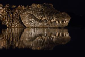 Nile crocodile at night, Zimanga private game reserve, KwaZulu-Natal, South Africa. by Ann & Steve Toon