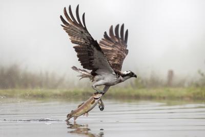 Osprey (Pandion Haliaetus) Catching Trout, Rothiemurchus Estate, Cairngorms, Scotland, UK, July by Ann & Steve Toon