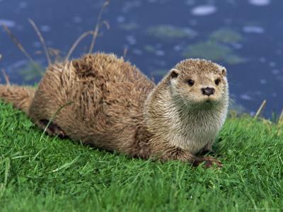 Otter (Lutra Lutra), Otter Trust North Pennine Reserve, Barnard Castle, County Durham, England by Ann & Steve Toon