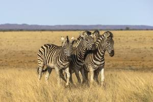 Pains Zebra (Equus Quagga Burchelli), Mokala National Park, South Africa, Africa by Ann & Steve Toon