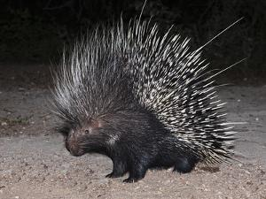 Porcupine (Hystrix Africaeaustralis), Limpopo, South Africa, Africa by Ann & Steve Toon