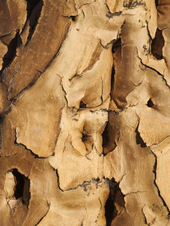 Quiver Tree Bark, Quiver Tree Forest, Keetmanshoop, Namibia, Africa by Ann & Steve Toon