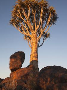 Quiver Tree, Quiver Tree Forest, Keetmanshoop, Namibia, Africa by Ann & Steve Toon