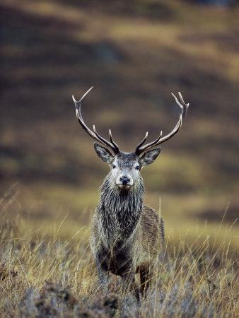 Red Deer Stag in Autumn, Glen Strathfarrar, Inverness-Shire, Highland Region, Scotland