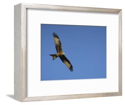 Red Kite (Milvus Milvus) in Flight with Wing Tags, Gigrin Farm, Rhayader, Wales, United Kingdom