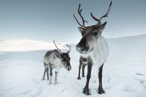 Reindeer Female by Ann & Steve Toon