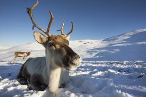 Reindeer (Rangifer Tarandus) Female, Cairngorms National Park, Scotland, United Kingdom, Europe by Ann & Steve Toon