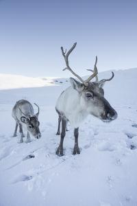 Reindeer (Rangifer Tarandus) Female with Young, Cairngorms National Park, Scotland, United Kingdom by Ann & Steve Toon