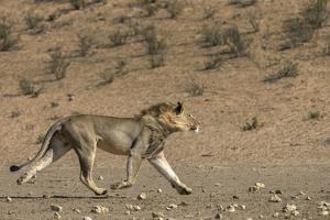 RF - Lion (Panthera leo) male running in desert, Kgalagadi Transfrontier Park, South Africa by Ann & Steve Toon