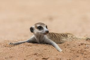 RF - Meerkat resting on cool sand, Kgalagadi Transfrontier Park, South Africa by Ann & Steve Toon