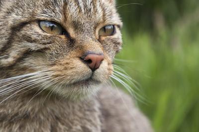 Scottish Wildcat (Felis Sylvestris), Captive, UK, June by Ann & Steve Toon
