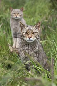 Scottish Wildcats (Felis Sylvestris), Captive, UK, June by Ann & Steve Toon