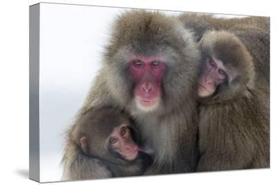 Snow Monkey (Macaca Fuscata) Group with Baby Cuddling Together in the Cold, Kingussie