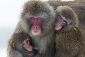 Snow Monkey (Macaca Fuscata) Group with Baby Cuddling Together in the Cold, Kingussie by Ann & Steve Toon