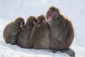 Snow Monkeys (Macaca Fuscata) Huddling Together for Warmth, Kingussie by Ann & Steve Toon