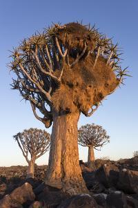 Sociable weaver nest in quiver tree Quiver tree forest, Keetmanshoop, Namibia by Ann & Steve Toon