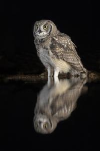 Spotted eagle owl subadult, KwaZulu-Natal, South Africa by Ann & Steve Toon