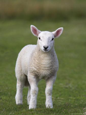 Spring Lamb, Scotland, United Kingdom, Europe by Ann & Steve Toon