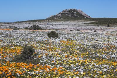 Spring Wild Flowers, Postberg Section, West Coast National Park, Western Cape, South Africa, Africa by Ann & Steve Toon
