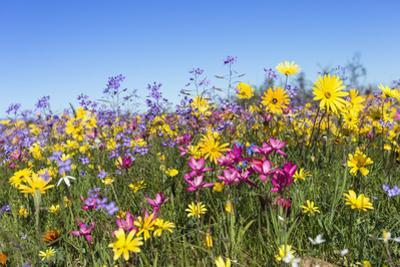 Spring Wildflowers, Papkuilsfontein Farm, Nieuwoudtville, Northern Cape, South Africa, Africa by Ann & Steve Toon