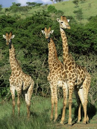 Three Giraffe, Giraffa Camelopardalis, Itala Game Reserve, Kwazulu-Natal, South Africa, Africa