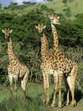 Three Giraffe, Giraffa Camelopardalis, Itala Game Reserve, Kwazulu-Natal, South Africa, Africa by Ann & Steve Toon