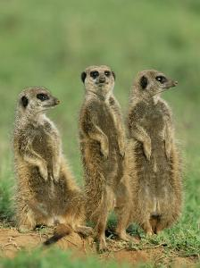 Three Meerkats (Suricates), Suricata Suricatta, Addo National Park, South Africa, Africa by Ann & Steve Toon