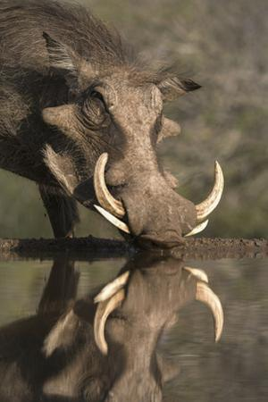 Warthog (Phacochoerus Aethiopicus), at Water, Mkhuze Game Reserve, Kwazulu-Natal, South Africa by Ann & Steve Toon