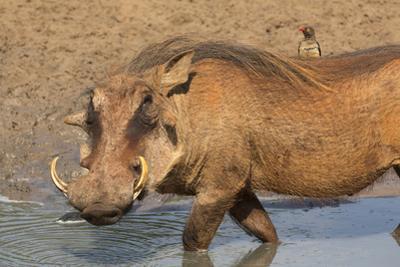 Warthog (Phacochoerus Aethiopicus), Kwazulu-Natal, Africa by Ann & Steve Toon