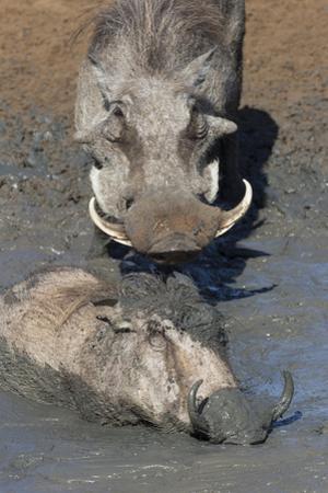 Warthog (Phacochoerus Aethiopicus) Mudbathing, Mkhuze Game Reserve, Kwazulu-Natal, South Africa