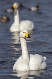 Whooper Swans (Cygnus Cygnus) on the Water, Norfolk, England by Ann & Steve Toon