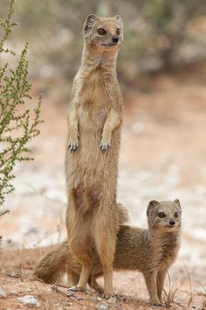 Yellow Mongoose (Cynictis Penicillata) Standing On Hind Legs With Young