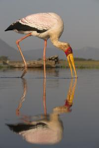 Yellowbilled Stork (Mycteria Ibis), Zimanga Private Game Reserve, Kwazulu-Natal, South Africa by Ann & Steve Toon