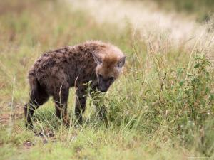 Young Spotted Hyena, Picking up a Scent, Kruger National Park, Mpumalanga, South Africa by Ann & Steve Toon