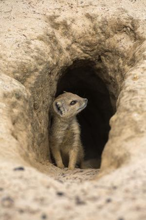 Young Yellow Mongoose (Cynictis Penicillata) at Burrow, Northern Cape, Africa